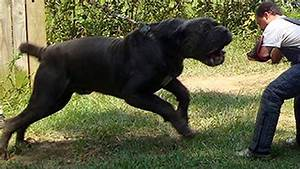 BIGGEST DOGS IN THE WORLD! - YouTube