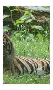 Tiger Eyes | Wiblick | Flickr