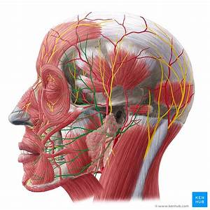 Facial Nerve  Origin  Function  Branches And Anatomy