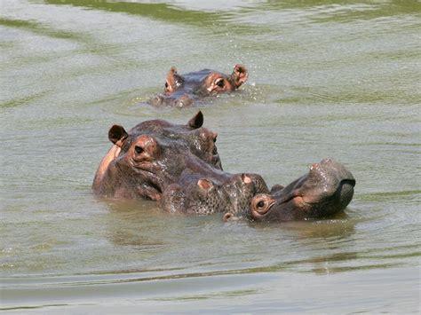 si e social hippopotamus blame lord pablo escobar for colombia 39 s hippopotamus