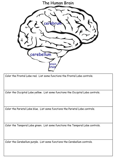 science worksheets  images human brain human