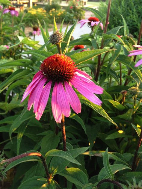 growing coneflowers 17 best images about iowa prairies on pinterest queen anne summer and flower