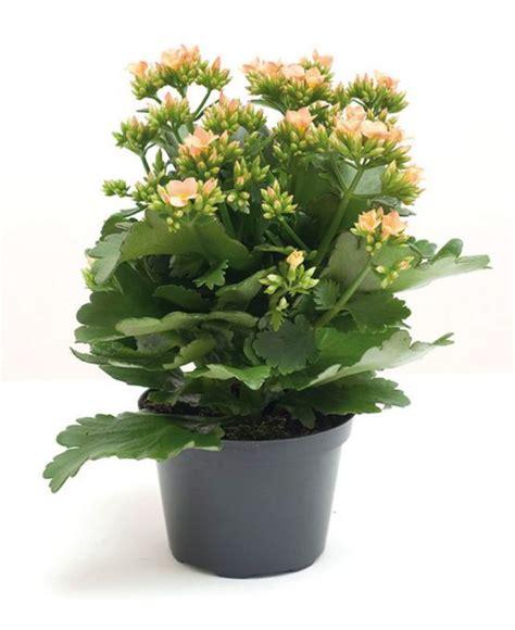 plante d int 233 rieur robuste fleuriste bulldo