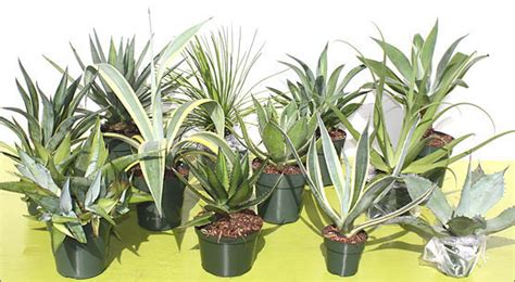 how to care for agave plant 28 best agave plant care garden care simplified agave plants agave sharkskin fine gardening