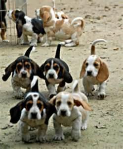 Baby Basset Hound Puppies
