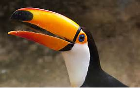 Baby Toco Toucans Related Keywords   Suggestions - Baby Toco Toucans      Baby Toco Toucans