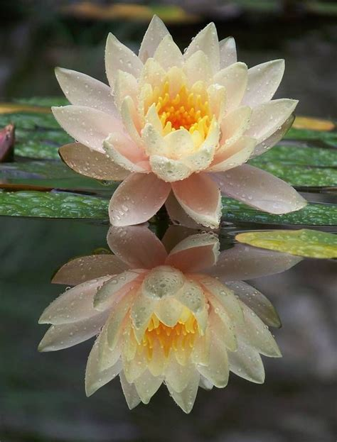 lotus flower color meanings 17 best ideas about lotus flower meanings on