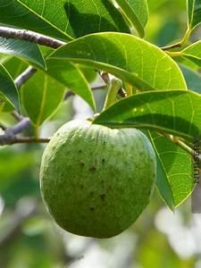 Delicious Tropical Pond Apple Annona Glabra – Kens Nursery