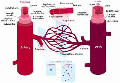 Blood Capillaries Between Difference Lymphatic Definition