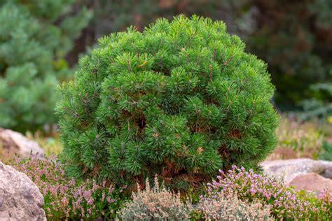 Kübelpflanzen Winterhart Immergrün by Winterharte K 252 Belpflanzen Unsere Top 15 Plantura
