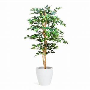 ficus in pots 28 images ficus in pot royalty free