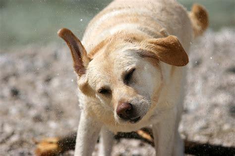 explanations  dogs shaking  health advisor