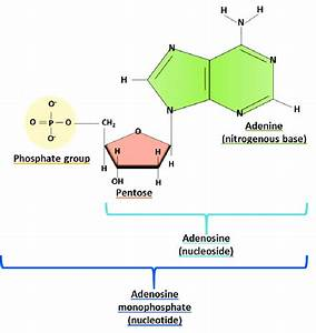 Adenine Nucleosides And Nucleotides Structure  Nucleosides