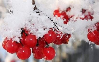 Berries Winter Snow Nature Cranberry Fruits Desktop