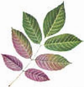 Pecan Identification Chart How To Identify Deciduous Trees By Their Leaves