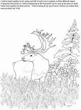 Caribou Coloring Pages Moss Reindeer Baby Sketch Cartoon Template Santa Getcoloringpages Christmas sketch template