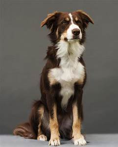 Everything You Need to Know about Border Collie Colors and ...