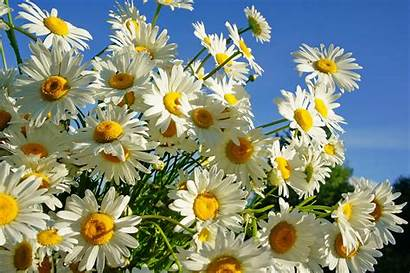 Daisy Background Flowers Wall