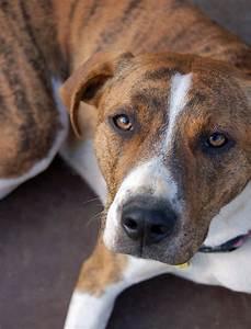Eva - Boxer | Humane Society of Dallas County