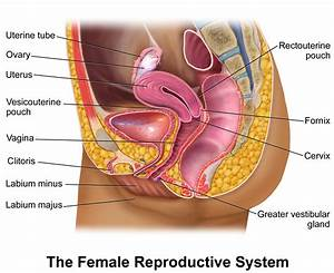 Female Reproductive System Labeled Female Reproductive ...
