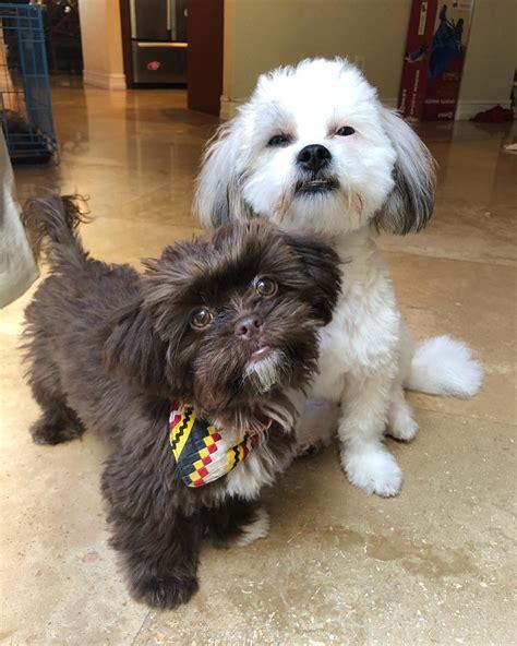 peekapoo  hybrid dog  facts   adorable