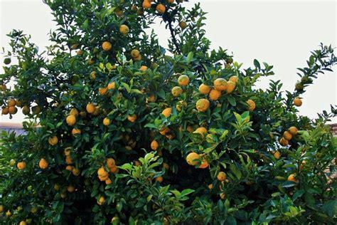 come potare un limone in vaso come potare il limone potatura potare pianta limone