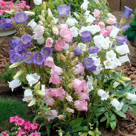 canterbury bell seeds cup and saucer mixed dobies