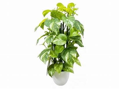 Pothos Plant Pot Artificial Jmcfloral Australia