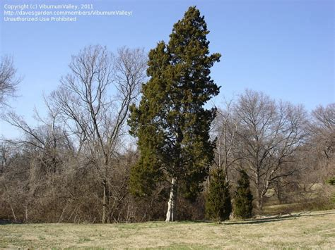 PlantFiles Pictures: Red Cedar Juniper, Eastern Red Cedar ...
