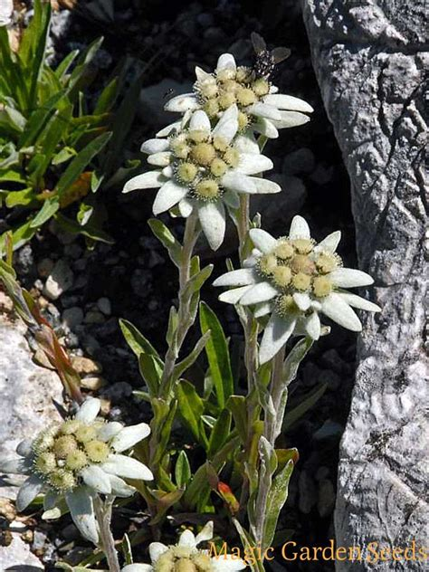 edelweiss leontopodium alpinum  beneficial