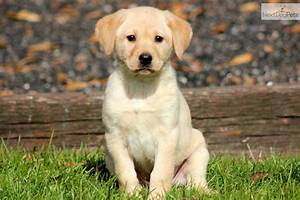 Cute Yellow Lab Puppies For Sale Images Pictures Becuo ...