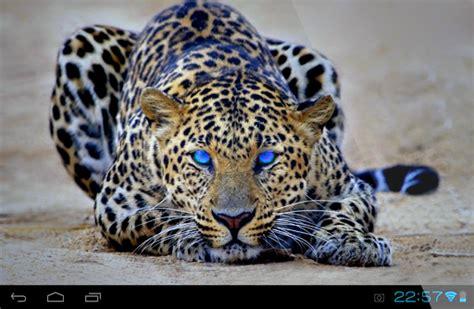 beautiful cheetah lwp  apk androidappsapkco