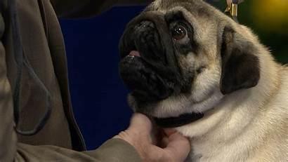 Dog Pug National Toy Teahub Io Tags