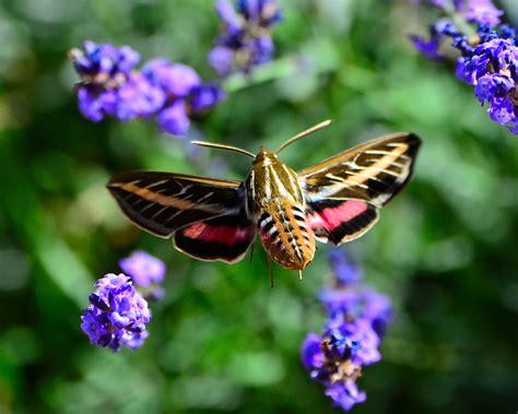 hummingbird moth file hummingbird moth 9691010084 jpg