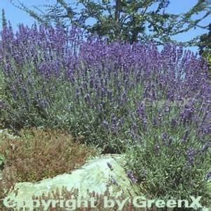 Echter Lavendel Kaufen : lavendel topf g nstig sicher kaufen bei yatego ~ Eleganceandgraceweddings.com Haus und Dekorationen