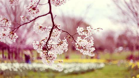 Cherry Blossom Animated Wallpaper - flowering cherry blossom tree desktop background images