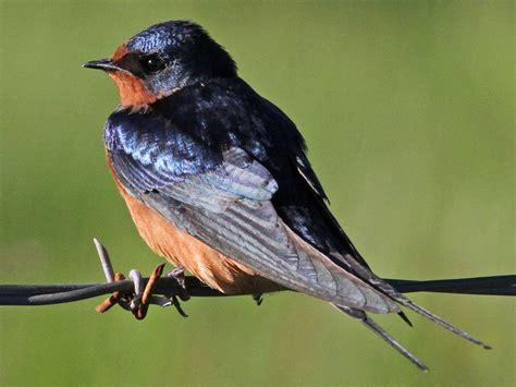 top 28 do barn swallows mate for bird fact friday the