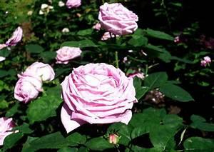 Alte Rosensorten Stark Duftend : comtesse cecile de chabrillant von marset 1858 ~ Michelbontemps.com Haus und Dekorationen