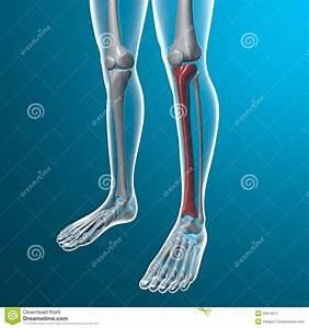 X-ray Of Human Legs  Tibia Bone Stock Image