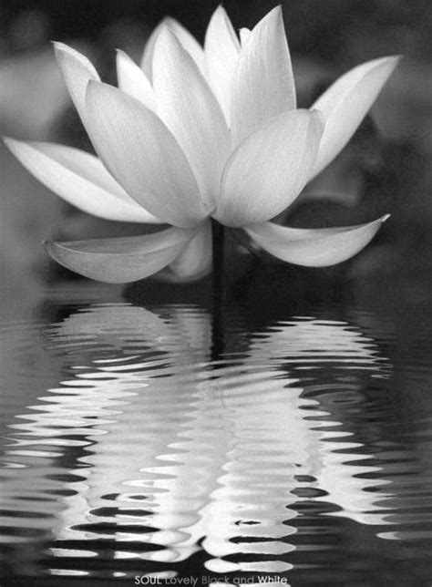 18 best images about Lotus Flowers on Pinterest