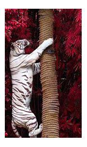 3840x2160 White Tiger Climbing Tree 4k HD 4k Wallpapers ...