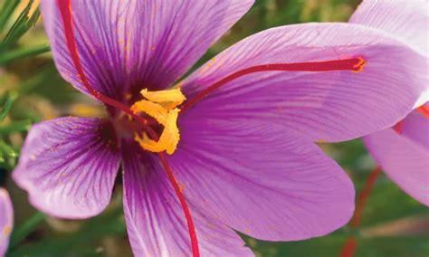saffron flower how to propagate the saffron crocus the garden of eaden