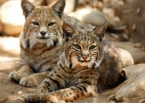 Bobcat Wild Cats Animals