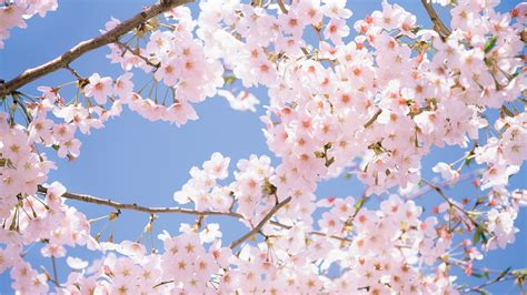 Cherry Blossom Animated Wallpaper - blossom flowers wallpaper collection 100 page 6