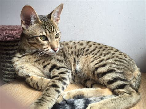 Stunning Male Savannah Cat F7 Sbt Huntingdon