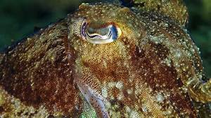 Center Of Living Light How Colorblind Cuttlefish May See In Living Color