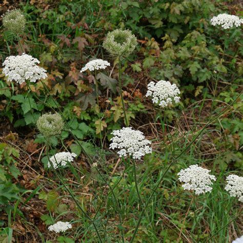 https://pflanzenbestimmung.info/daucus-carota/