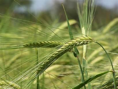 Barley Freeimages