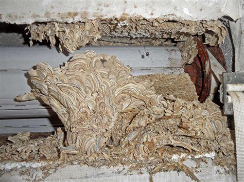 wie alt werden wespen wespenarten in deutschland plantura
