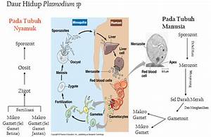 Protista Mirip Hewan  Protozoa